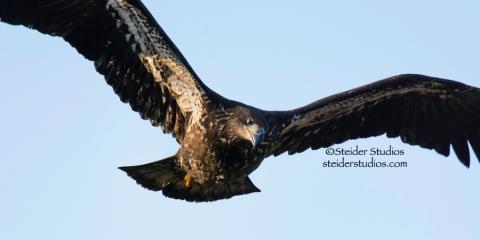 Steider Studios.Juvenile Bald Eagle in flight.Lyle Point.1.1.15