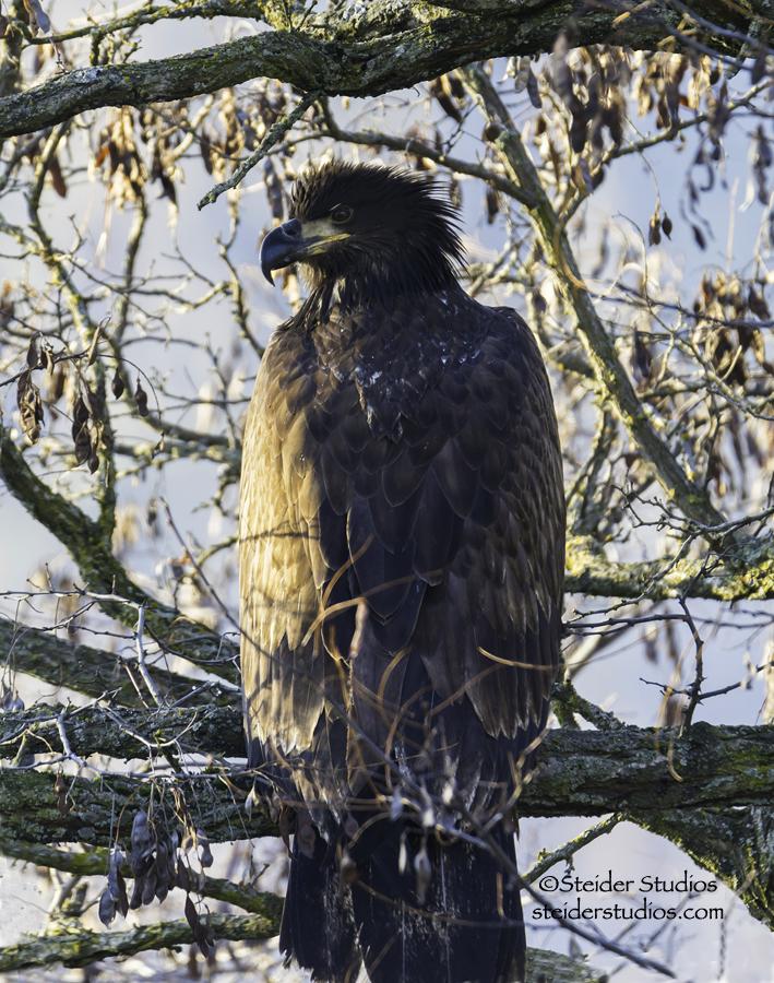 Bald Eagle Eating Deer Juvenile Bald Eagle Eating