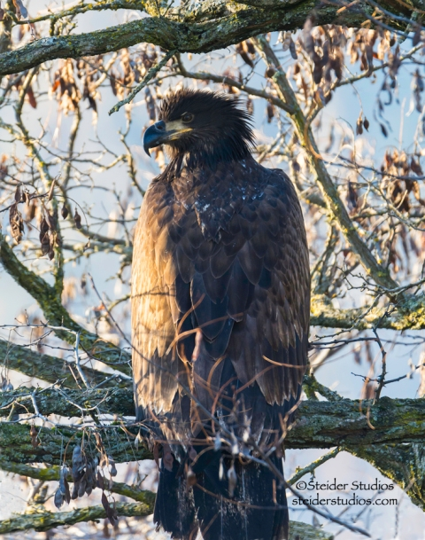 Steider Studios.Juvenile Bald Eagle in tree.Lyle Point.1.1.15