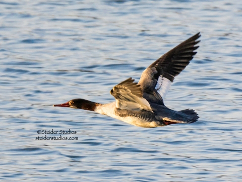 Steider Studios.Merganser.Across From.Rowland Lake.1.1.15