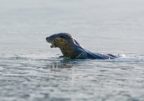 Steider Studios.Otter.Lost Lake.1.26.15-2
