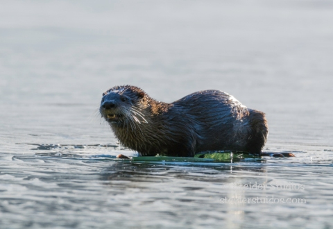 Steider Studios.Otter.Lost Lake.1.26.15