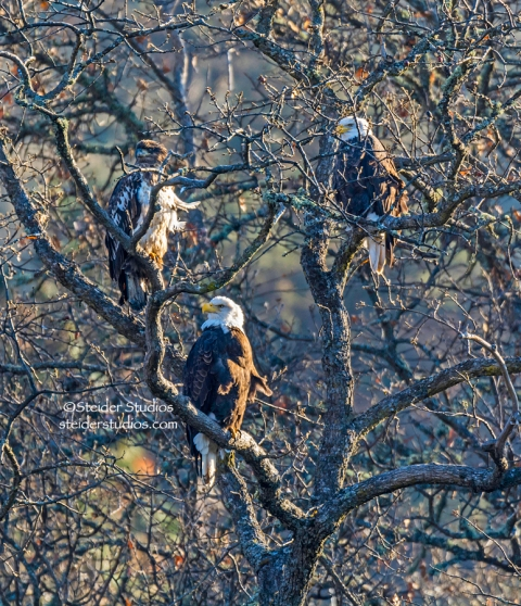 Steider Studios.Trio of Bald Eagles.Balfour.1.1.15
