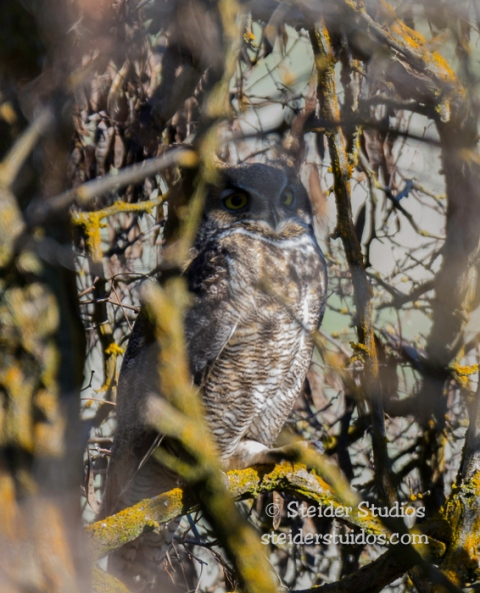 Steider Studios.Great Horned Owl.2.17.15