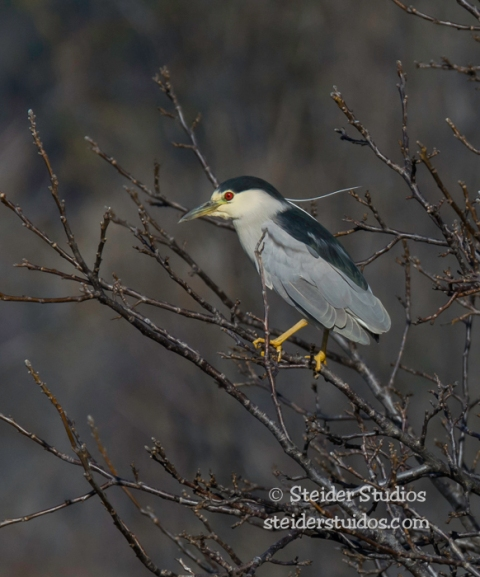 Steider Studios.Night Heron.HR Marina.2.14.15