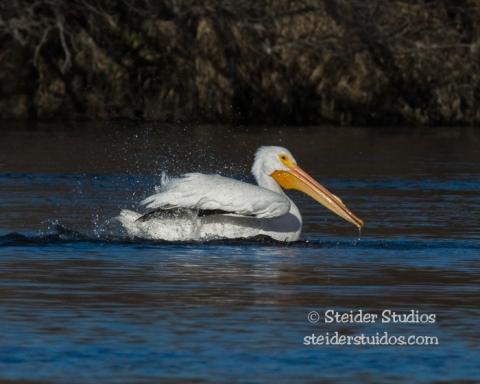 Steider Studios.American White Pelican.2.17.15