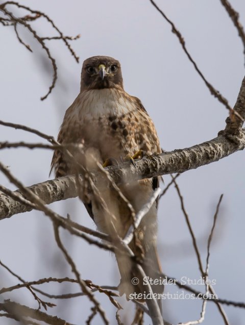 Steider Studios.Red-tailed Hawk.Conboy.2.19.15-6