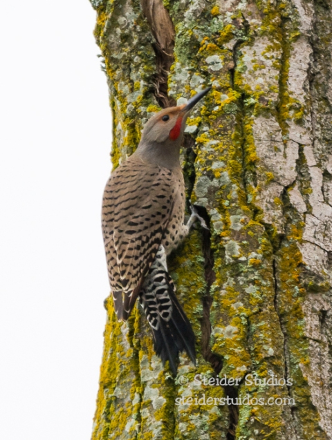 Steider Studios.Northern Flicker.2.1.15