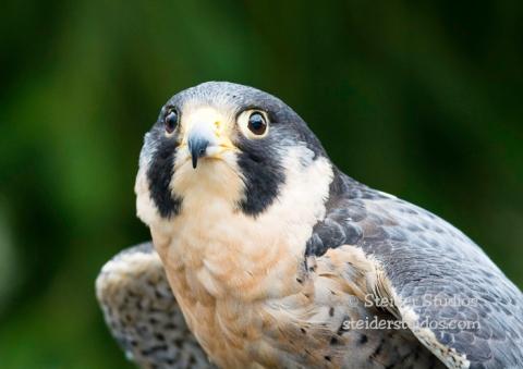 Steider Studios.Audubon Peregrine Falcon.Saturday.2.7.15