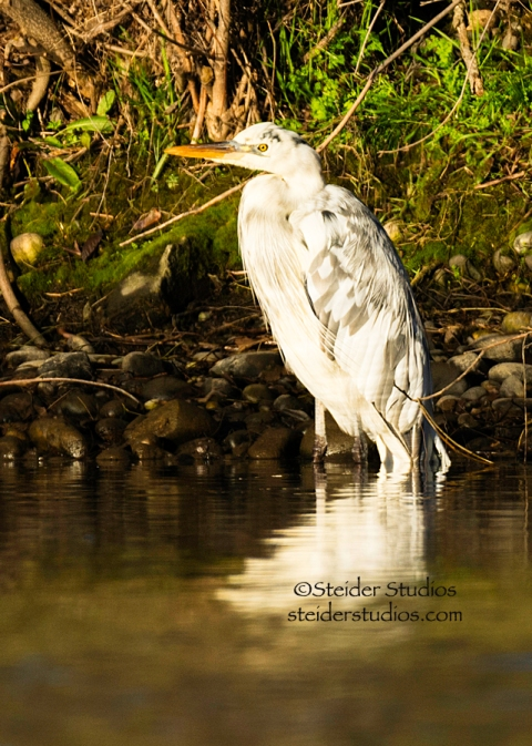 Steider Studios.White Heron in Sunlight.2.18.15-2
