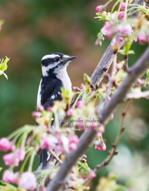 Steider Studios.Downey Woodpecker.3.28.15