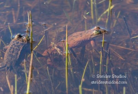 Steider Studios.Frogs.3.8.15-7