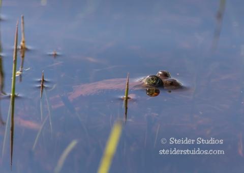 Steider Studios.Frogs.3.8.15-8