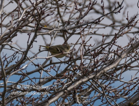 Steider Studios.Ruby-crowned Kinglet