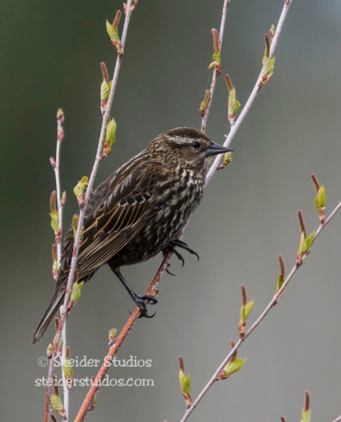 Steider Studios.Red-winged Blackbird female