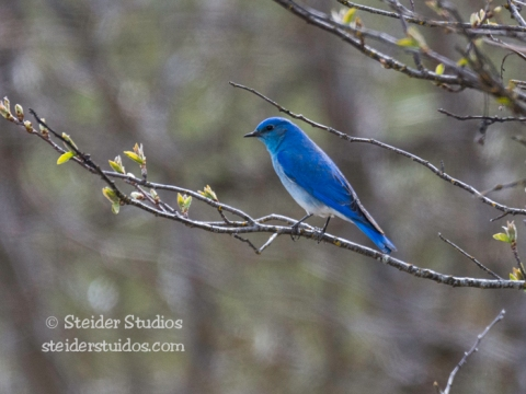 Steider Studios.Mountain Bluebird at Conboy