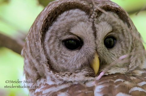 Steider Studios.Barred Owl Head Shot