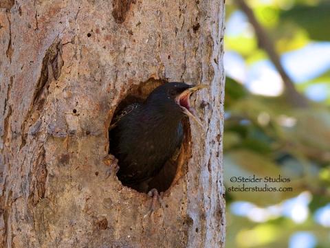 Steider Studios.Black Bird in Nest