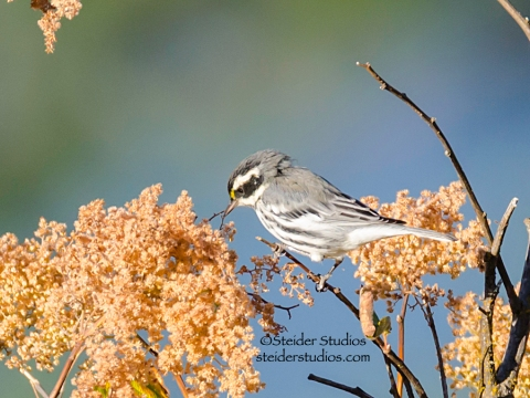Steider Studios.Black-throated Gray Warbler.8.27.14
