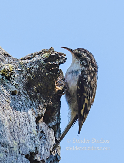 Steider Studios.Brown Creeper.8.25.14
