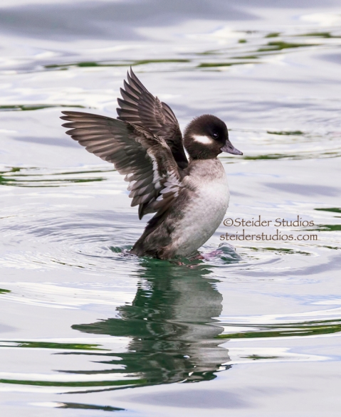 Steider Studios.Bufflehead Female.Hatchery.2.10.15