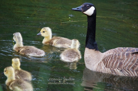 Steider Studios.Canadian Geese Family