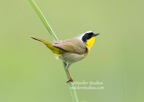 Steider Studios.Common Yellowthroat.5.15.15