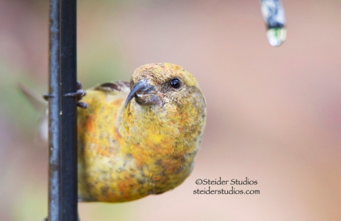 Steider Studios.Crossbill at Drinking Fountain.6.11.14