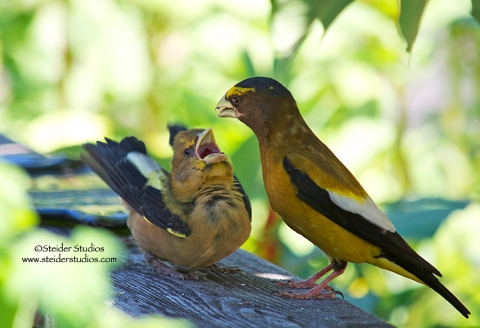 Steider Studios.Daddy Grosbeak Feeds Baby