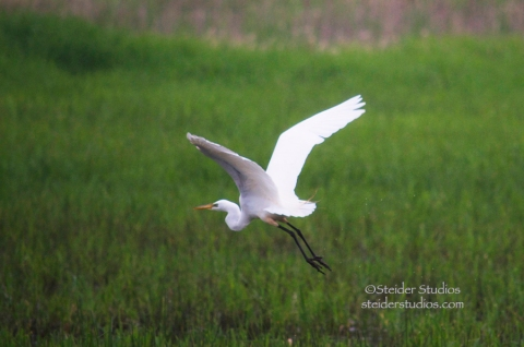 Steider Studios.Egret in Flight