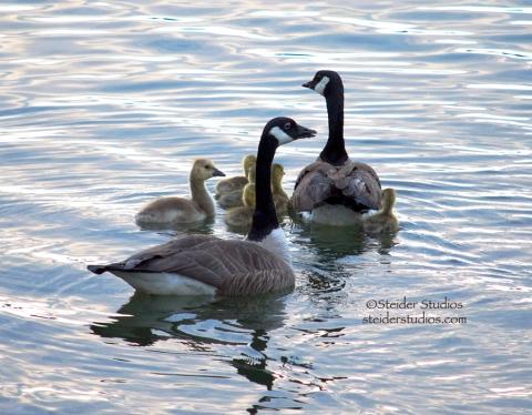 Steider Studios.Geese with Goslings