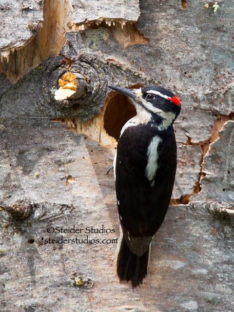 Steider Studios.Hairy Woodpecker at Nest.Lyle.5.24.14