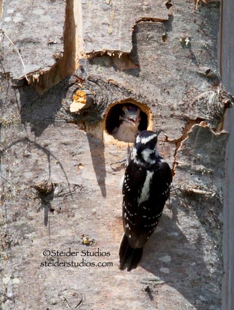 Steider Studios.Hairy Woodpecker with Baby
