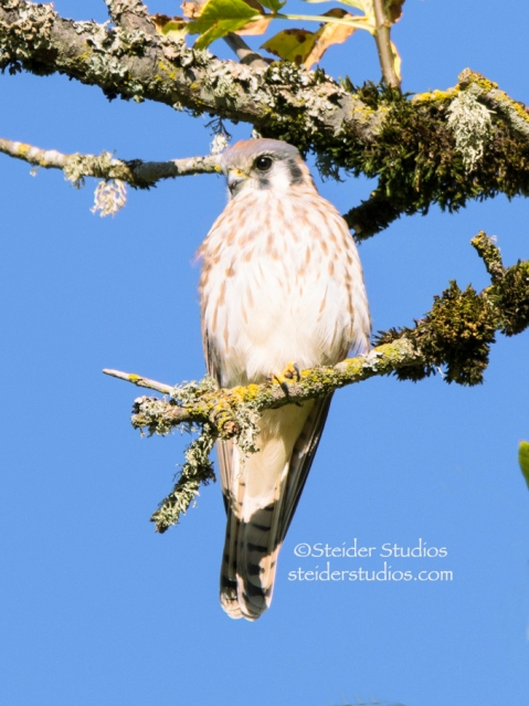 Steider Studios.Kestrel in Tree.Blue Sky