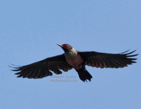 Steider Studios.Lewis' Woodpecker in Flight.Balfour.9.15.14