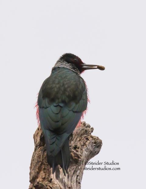 Steider Studios.Lewis's woodpecker.balfour.1.11.15