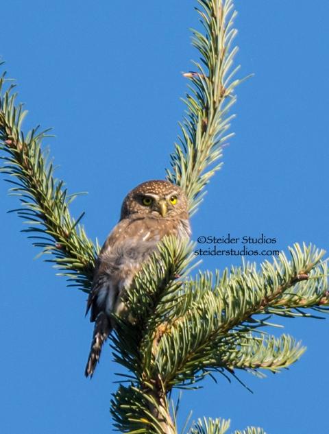 Steider Studios.Northern Pygmy Owl 2