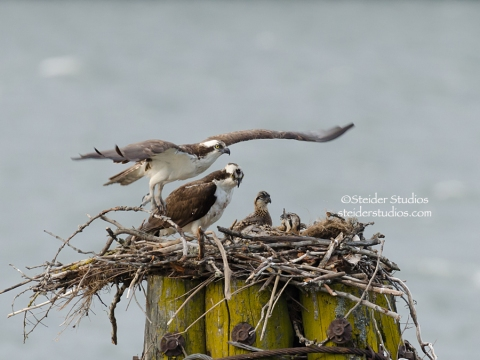 Steider Studios.Osprey Family on Nest