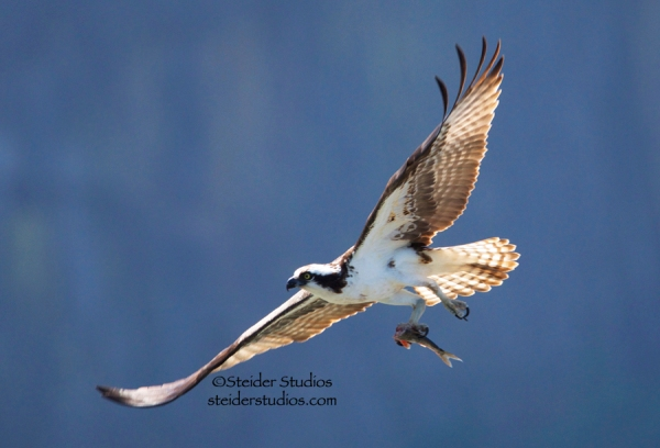 Steider Studios.Osprey in Flight with Fish.Blue Sky