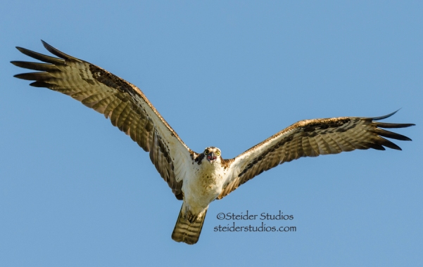 Steider Studios.Osprey Parent in Flight.8.7.14