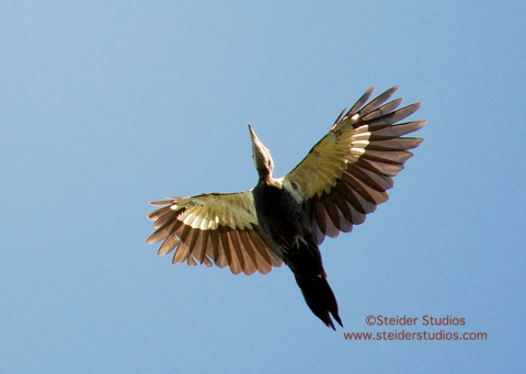 Steider Studios.Pileated Woodpecker in Flight