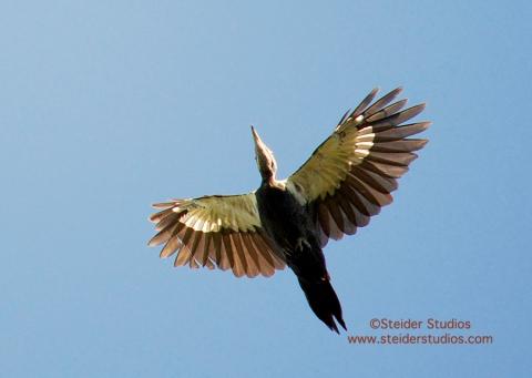 Steider Studios.Pileated Woodpecker in Flight