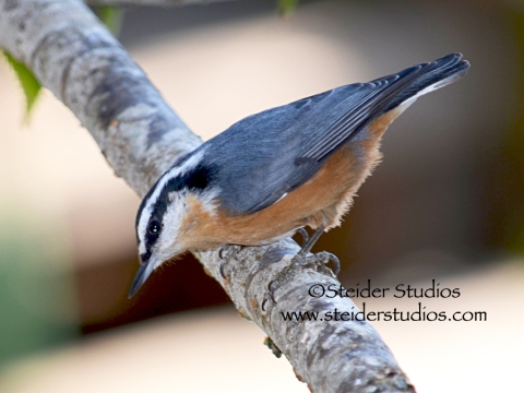 Steider Studios.Red Breasted Nuthatch.