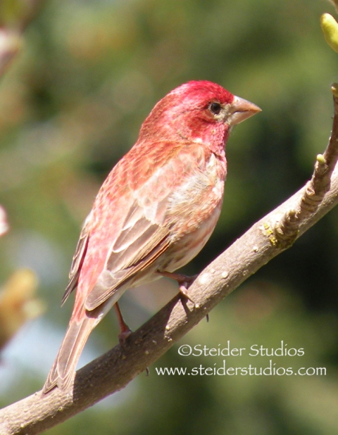 Steider Studios.Red Finch