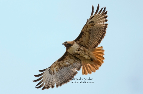 Steider Studios.Red-tailed Hawk in Flight.4.13.15