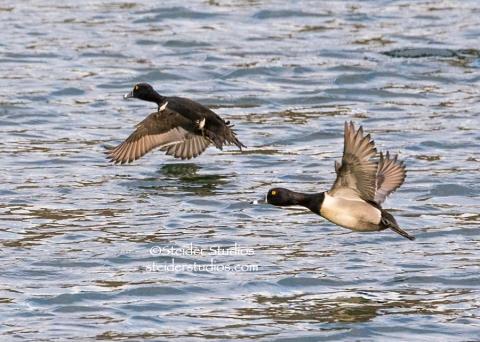 Steider Studios.Ring-necked Duck in Flight.Rowland.2.10.15