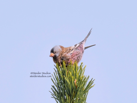 Steider Studios.Gray-crowned Rosy Finch