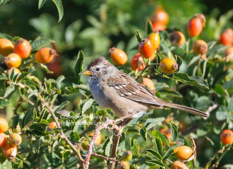 Steider. Studios.Rufous-winged Sparrow.9.10.14