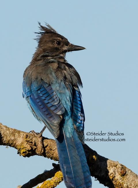 Steider Studios.Steller's Jay.Blue Sky.8.27.14