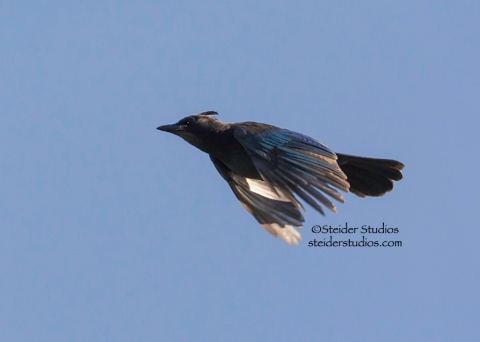 Steider Studios.Steller's Jay in Flight.Bingen Pond.9.28.14